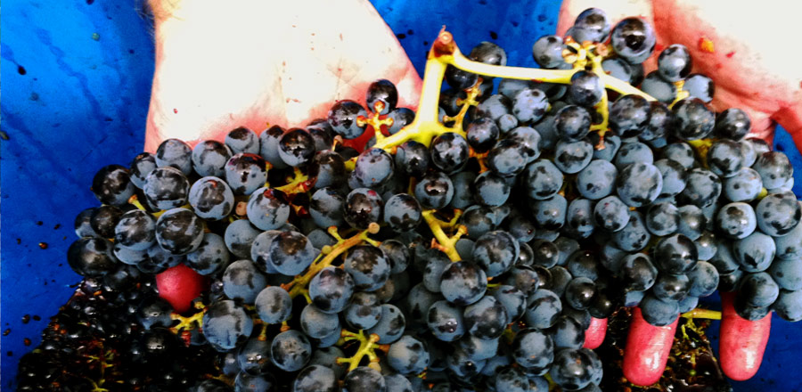Alicante wine grapes